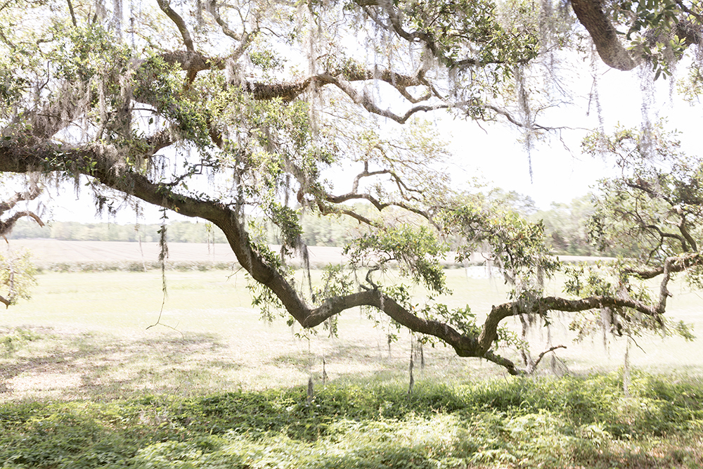 Charleston Tea Plantation on Wadmalaw Island in South Carolina