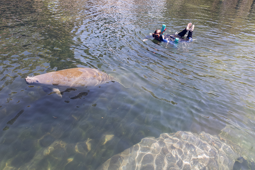 Have you ever wanted to go snorkeling with the manatees in Florida? Have you ever wanted to go snorkeling with the manatees with kids? Check out my tour recap with tips on snorkeling with the manatees! #CrystalRiver #Homosassa #SnorkelingWithManatees