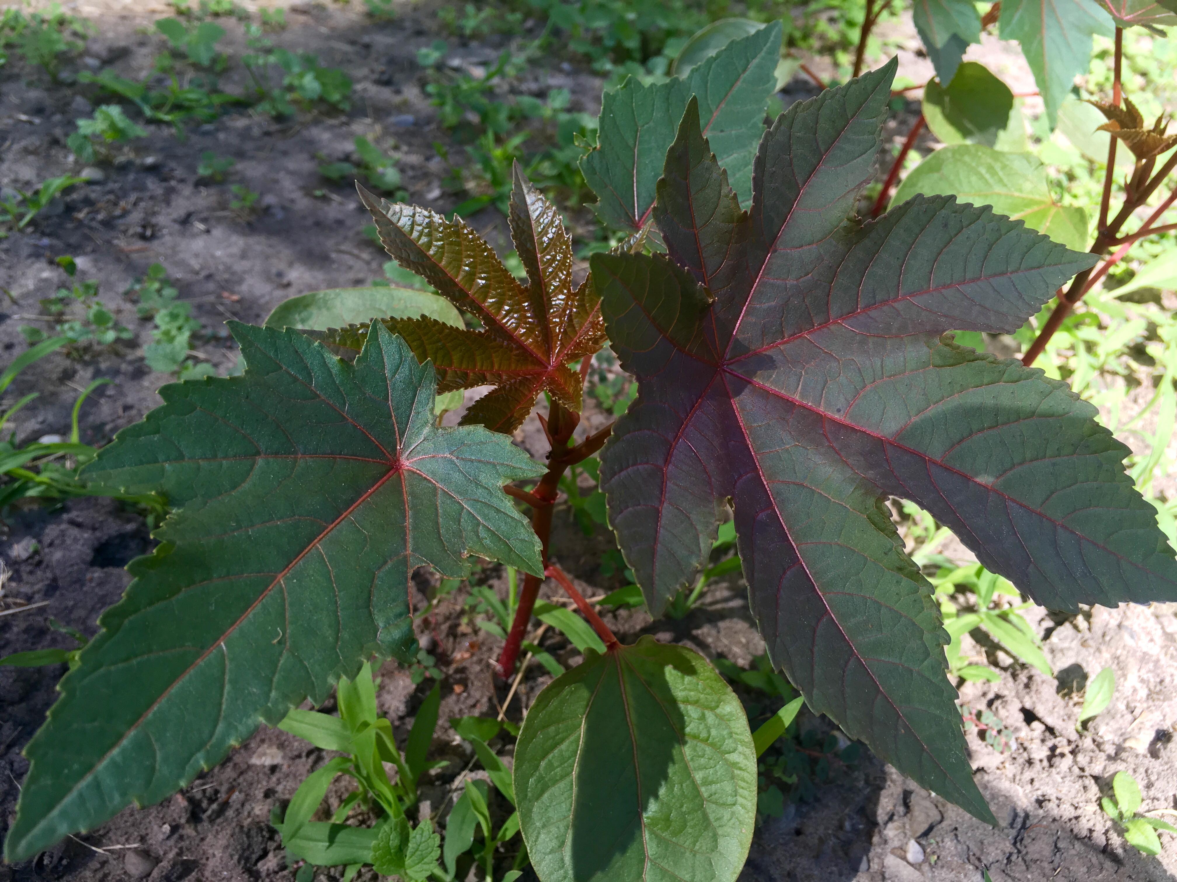 Castor oil Benefits: Nature's Hidden Gem