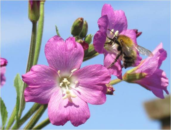 bee in willowherb flower