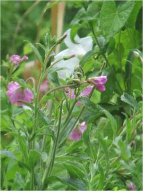 bindweed and willowherb