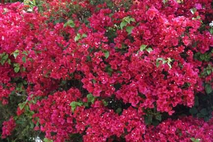 Bougainvillea Fuschia Colored Flowers