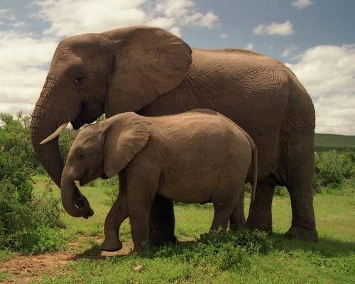 Inspirational Story – THE PREGNANT ELEPHANT