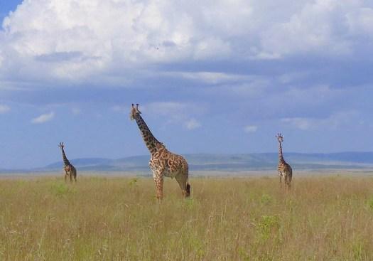 Żyrafy na łące, jako symbol wysoka samoocena