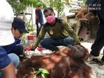 Ular Piton yang Ditemukan dalam Karung Belum Dilepasliarkan