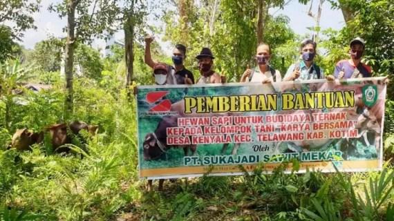 PT Sukajadi Sawit Mekar beri bantuan sapi dukung masyarakat kembangkan peternakan