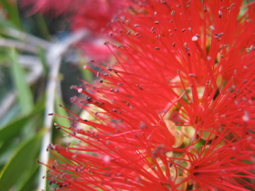 Bottlebrush: it might look gorgeous, but you'll want to enjoy from a distance