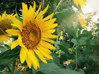 Sunflowers at UP Diliman