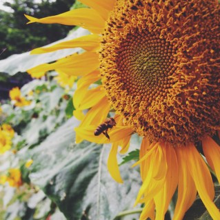 Sunflower with a bee at UP Diliman