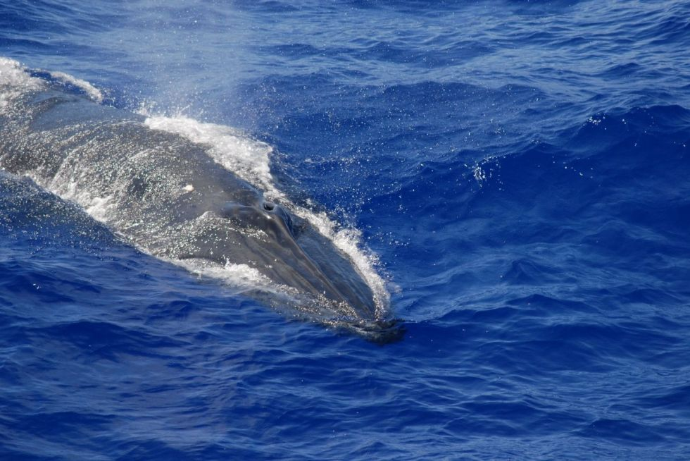 Bryde's Whales in Maldives