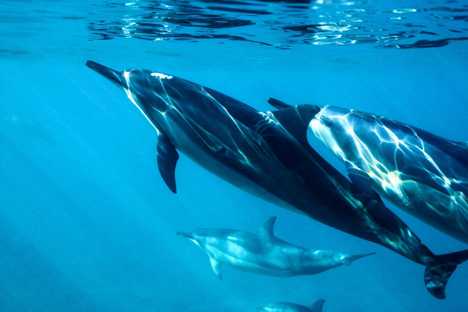 Dolphins in Maldives (Watching, Swimming & Dolphin Cruise)