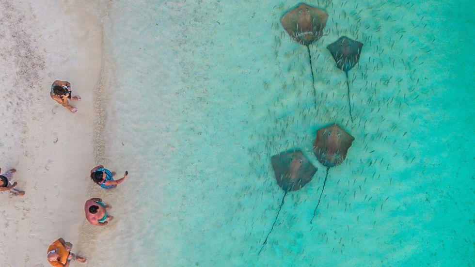 Stingray Feeding Activity in Maldives