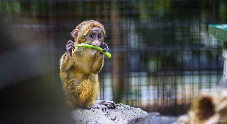 Photo of monkey biting a vegetable