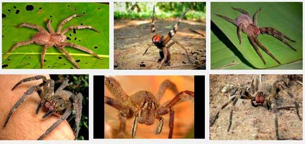 Бразильский блуждающий опасный паук со всего мира