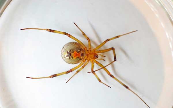 Коричневая вдова опасный паук