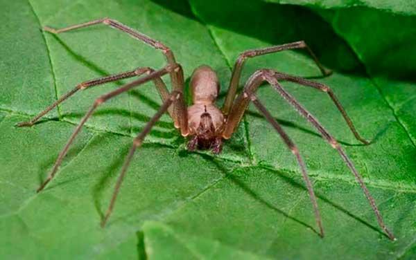 Коричневый паук отшельник пауки мира