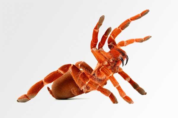 Король бабун паук