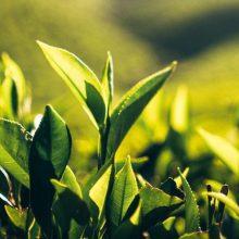 cropped-tea-plantation-in-india-507690526_1257x8389.jpeg