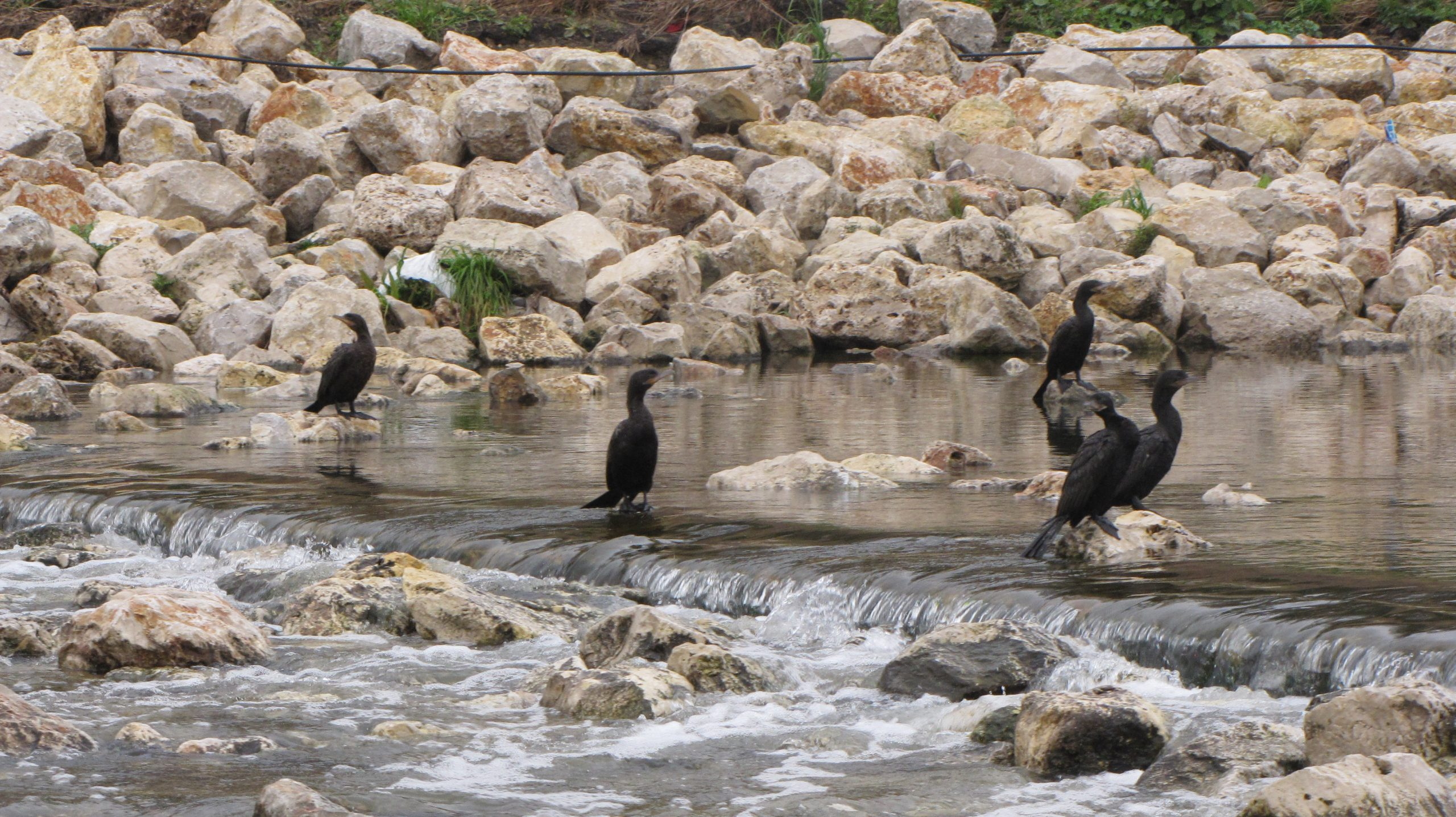 Cormorants fishing in a riffle on the San Antonio Mission Reach
