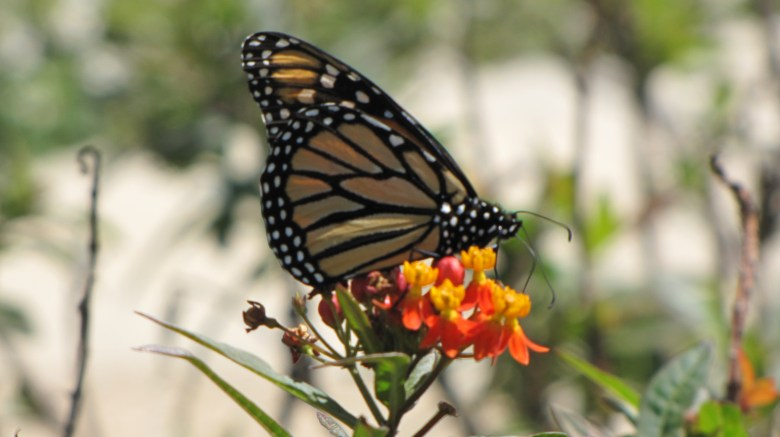 Monarch butterflies are taking up residence at the San Antonio Museum Reach