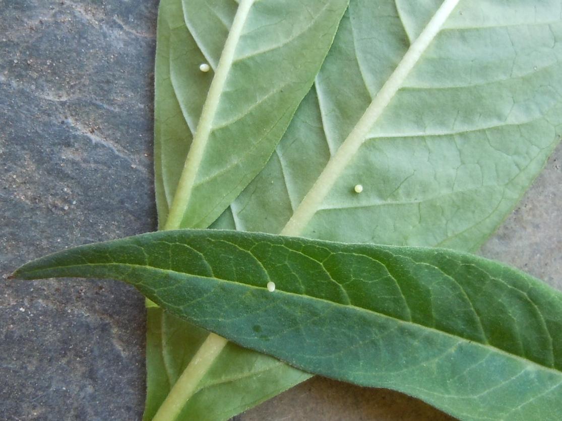 Monarch butterfly eggs on milkweed leaves