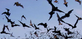 Bats at Bracken Cave arrived 10 days early this year