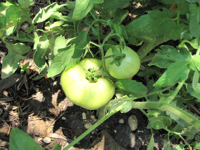 """Coming soon: """"Rodeo tomatoes"""""""