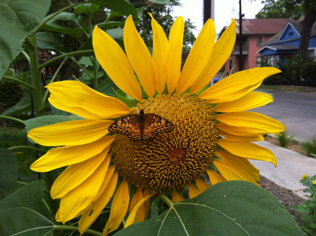 Sunflowers draw butterflies in our converted Lavaca yard