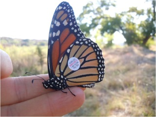 A Monarch tagged on the journey to Mexico.