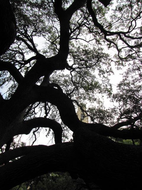 Alamo Live Oak