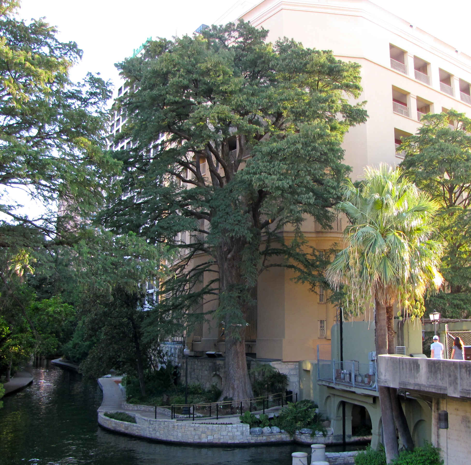 Ben Milam Bald Cypress stands behind the Drury Inn near the Commerce Bridge on the San Antonio River. Courtesy photo.