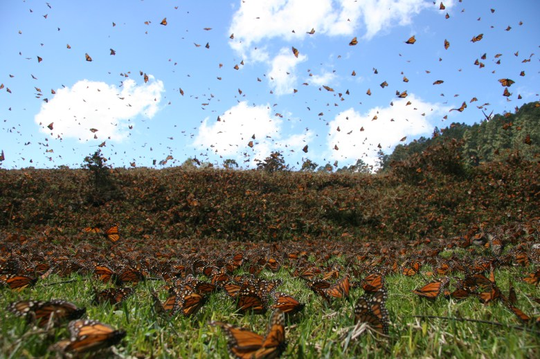 """The IMAX movie, Flight of the Butterflies, was released last week, and chronicles the """"discovery"""" of the Monarch butterfly roosting spot."""