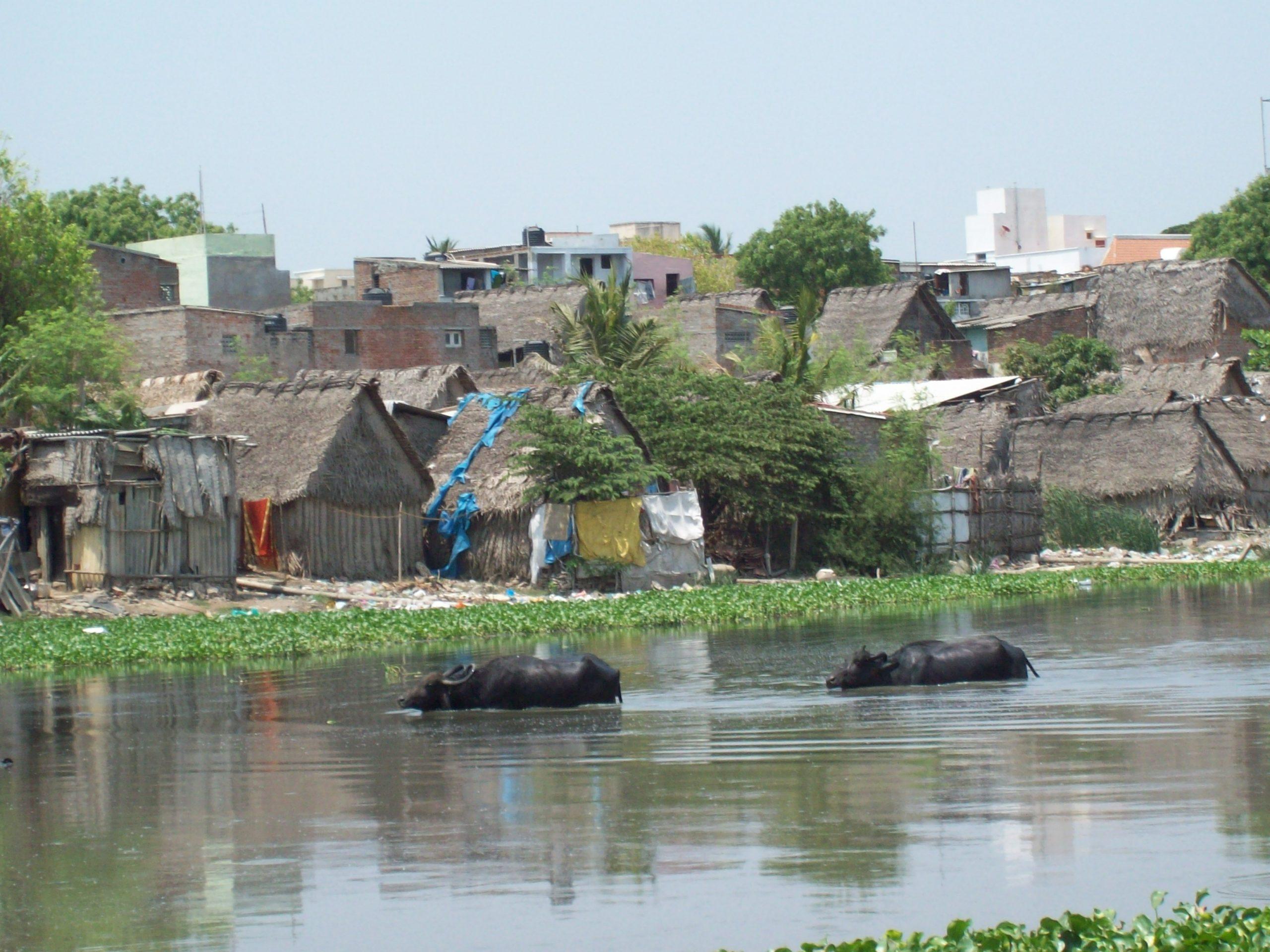 Wild water buffalo in Cooum River, India. Photo courtesy of SARA.