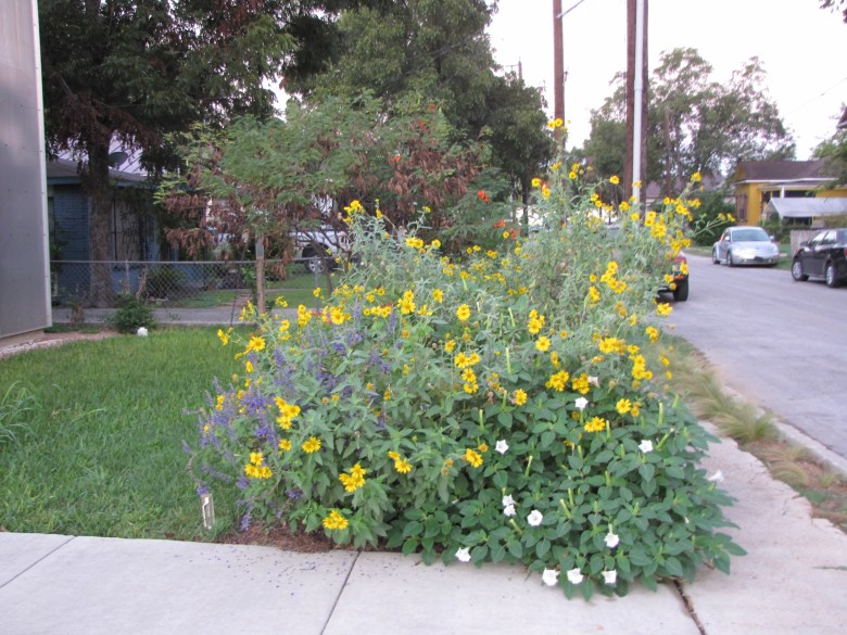 Native plants like Cowpen Daisy, Jimsonweed and Texas sage are water wise and bloom all summer.   Photo by Monika Maeckle
