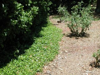 Asiatic jasmine - native to Japan and Korea is commonly used as an evergreen ground-cover option, it's difficult to remove once established. Photo courtesy University of Florida.