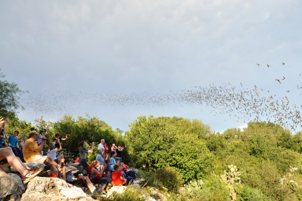 BCI members and their guests silently watch the largest bat colony on Earth emerge from the Bracken Cave. Photo by Iris Dimmick.