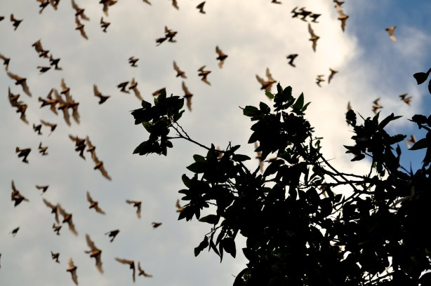 Bats emerge from the Bracken Cave for an insect dinner. Photo by Iris Dimmik.