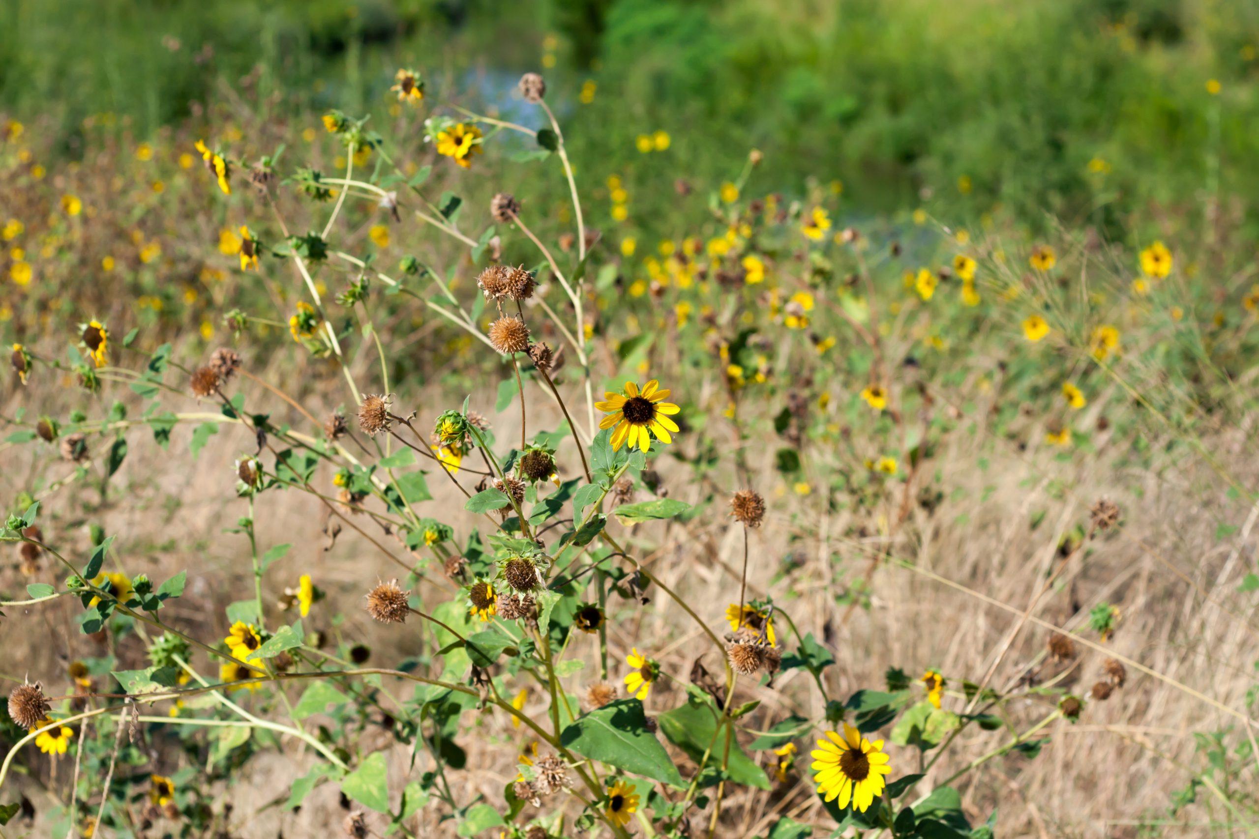 Wildflowers on the banks of the San Antonio River. Photo by Garrett Heath.