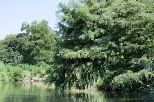 Natural vegetation and still waters on the San Antonio River. Photo by Garrett Heath.