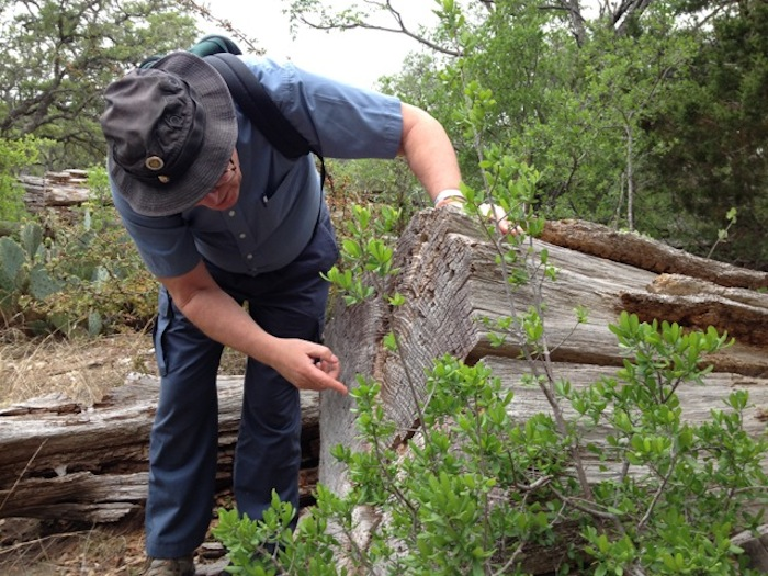 Malcolm Cleaveland examines the rings on a tree stump. Photo by Robert Rivard.