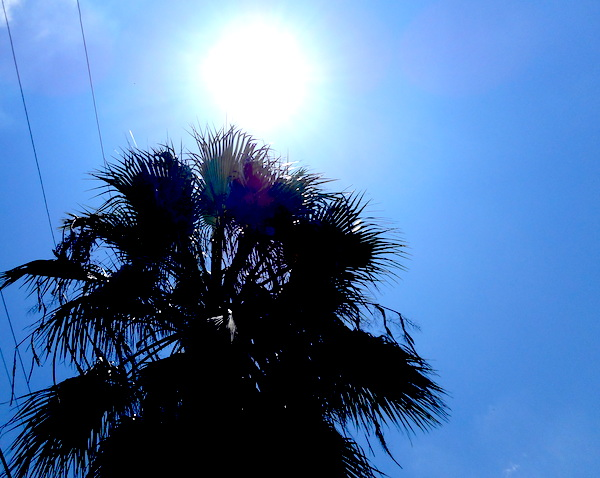 A palm tree bakes in the sun in San Antonio on a hot July day. Photo by Don Mathis.