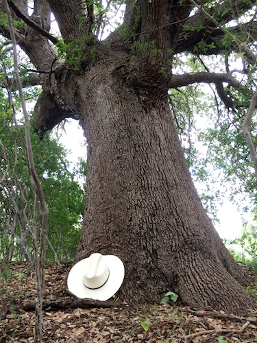 A centuries-old oak tree stands tall near the Llano River before its demolition to make way for a Pilot Flying J truck stop. Photo by Bill Neiman.