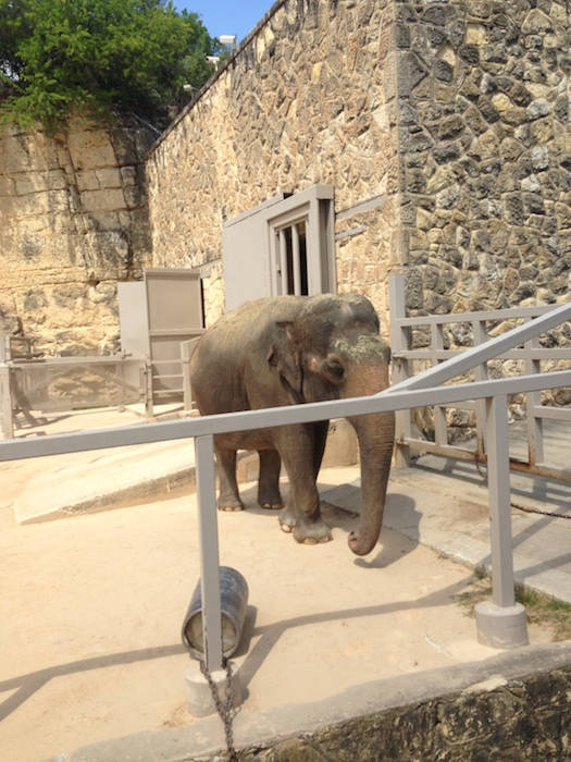 Lucky the elephant prepping for her 11:30 a.m. demonstration at the San Antonio Zoo. Photo by Jackie Calvert.
