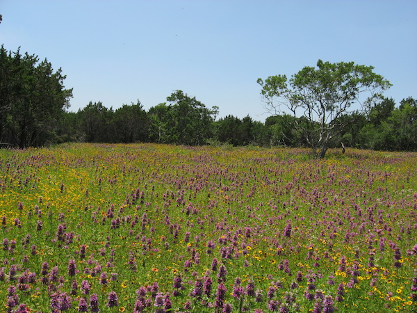 In keeping with the park's master plan, the City of San Antonio's Parks and Recreation Department is restoring 311 acres of grass/prairie lands in the park. Courtesy photo.