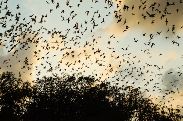 About 20 million Mexican free-tailed bats emerge from Bracken Cave every evening. Photo by Jacqueline Ferrato, courtesy of The Nature Conservancy.