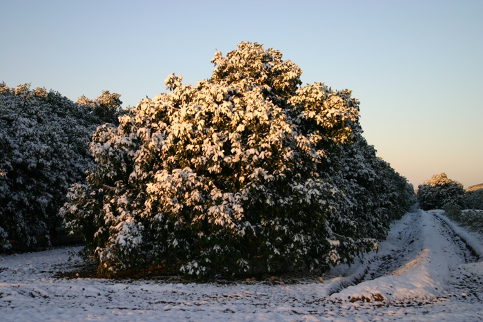 The orange trees at C&S Groves after receiving six inches of snow one night in 2004. Courtesy of David Strohmeyer.