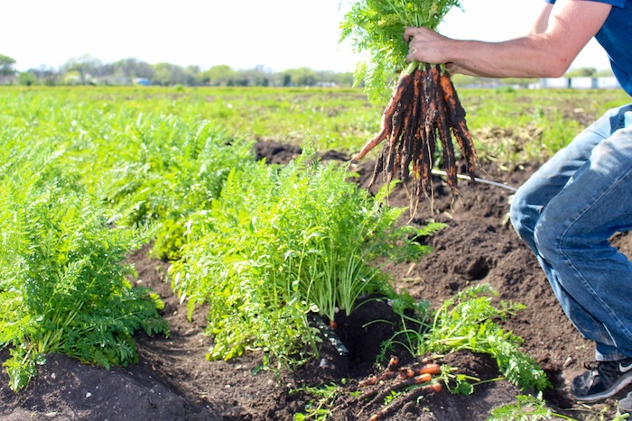 Harvesting carrots at the San Antonio Food Bank. Photo by Mitch Hagney.
