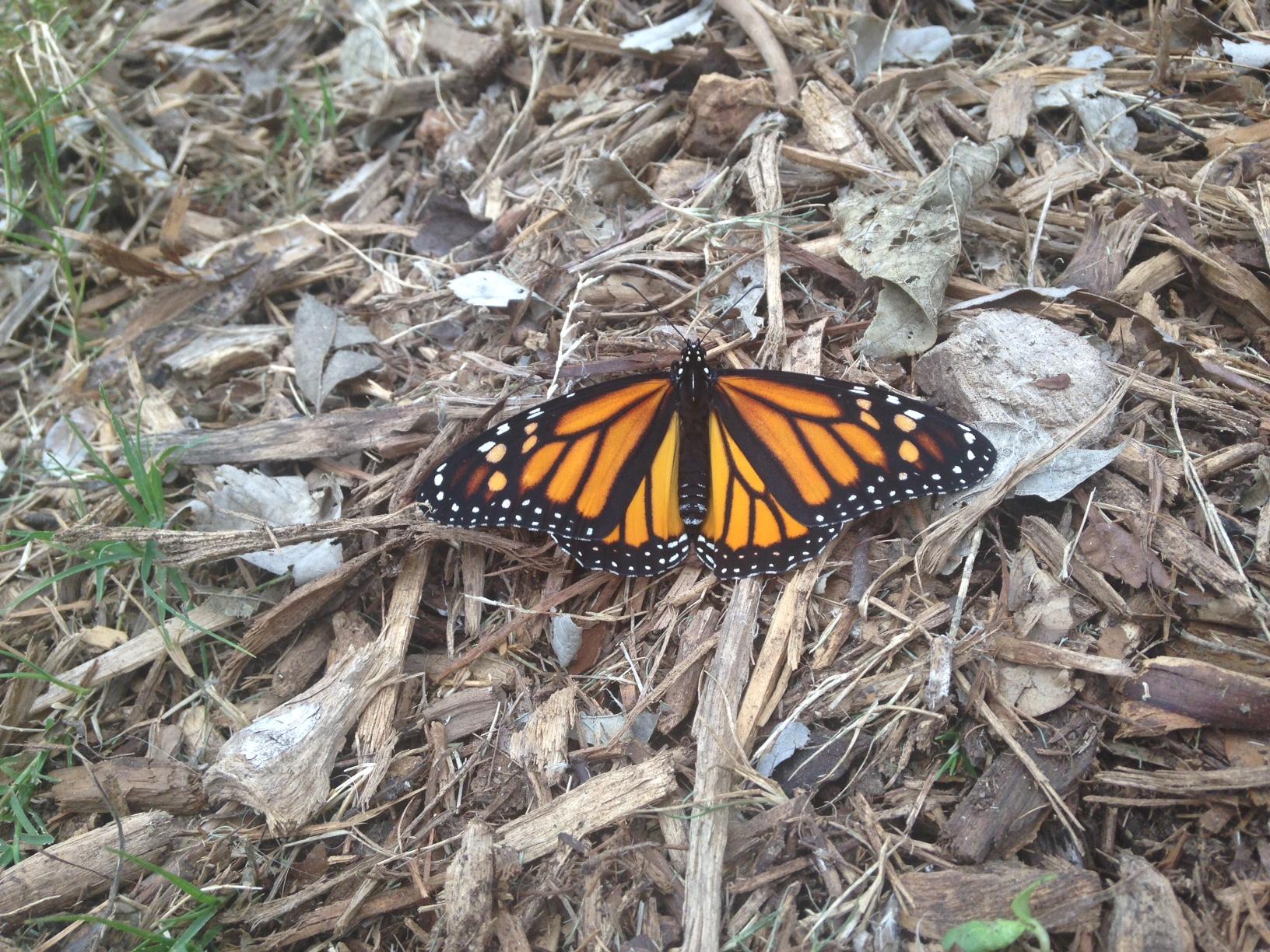 Monarch on mulch