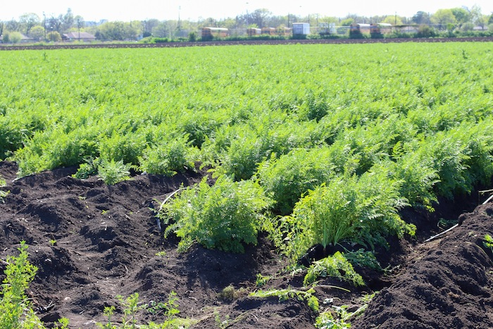 The bountiful carrot rows at the San Antonio Food Bank farm. Photo by Mitch Hagney.