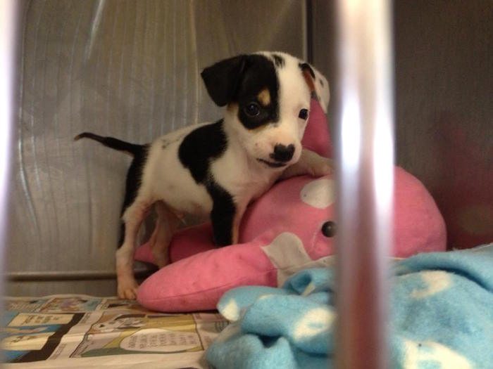 Moo Moo was diagnosed with Parvovirus and a case of ringworm. Courtesy photo of San Antonio Pets Alive.